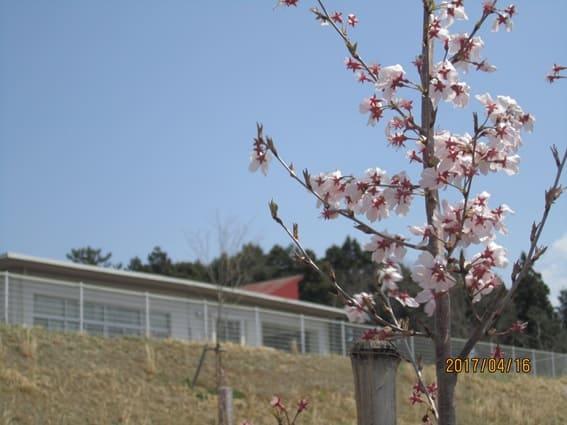 みやま壮の桜