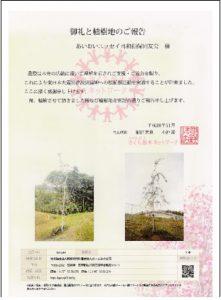 sakura植樹1