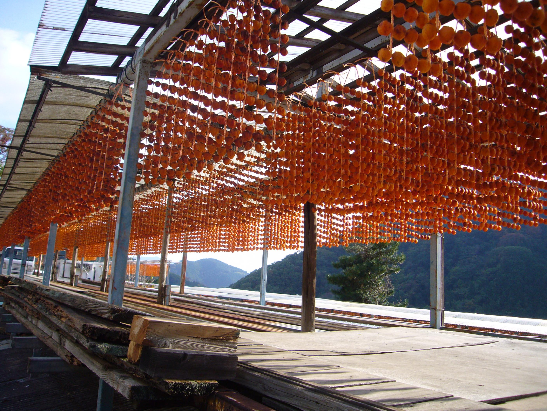 串柿の里 深山斜面に日本の原風景「串柿天日干し」